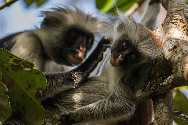 jozani forest red colobus grooming
