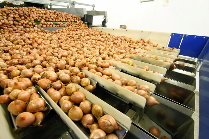 shallots on packing line