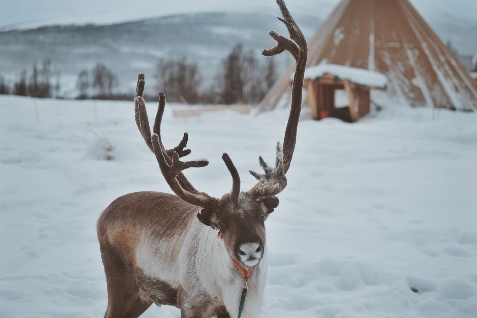 Reindeer and lavvo