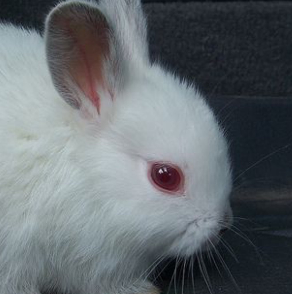 Red Eyes in Rabbits   Country Bumpkin Bunnies