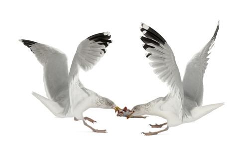 Seagulls Negotiating over a fish