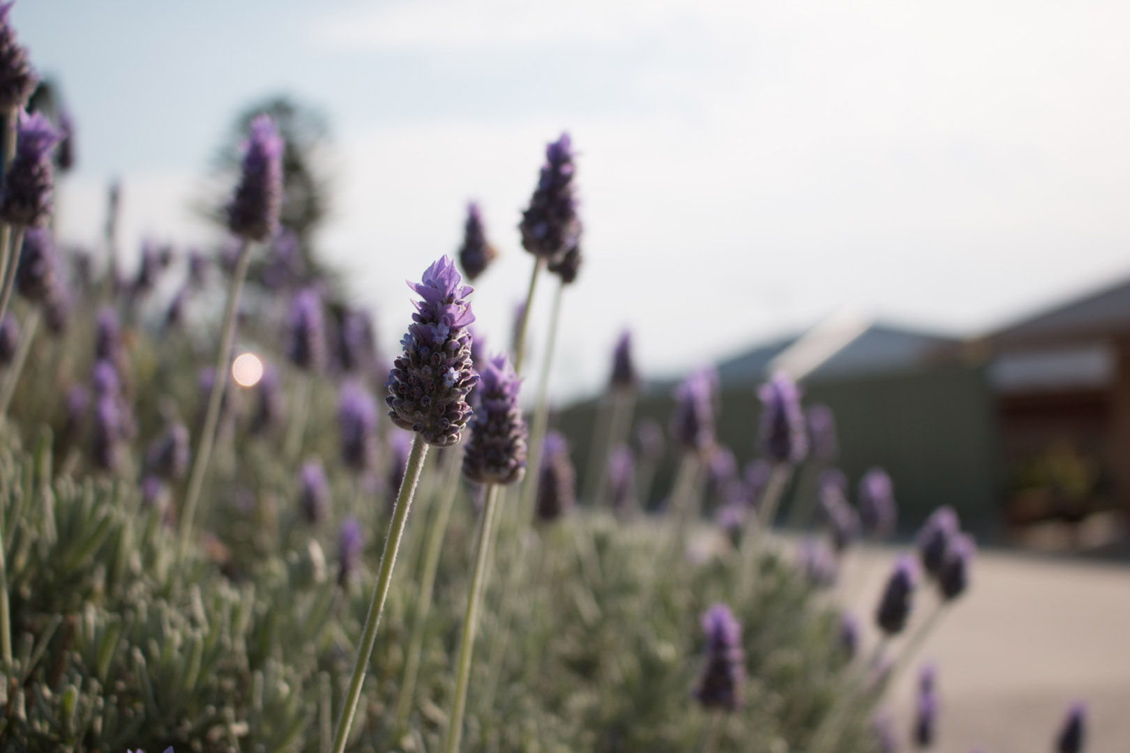 Lavender in the HOPES Inc Community