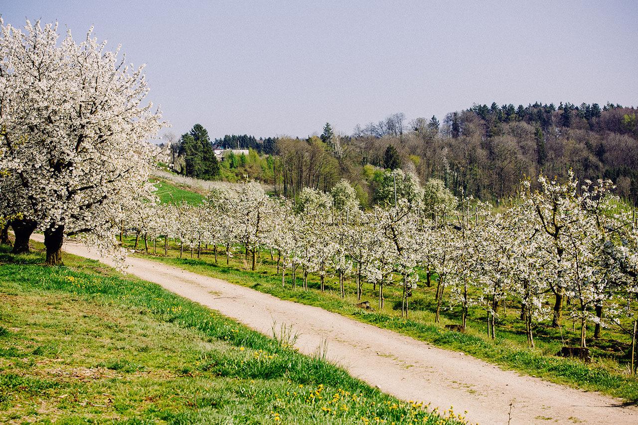 Kirschblüte Ravensburg Gut Hügle