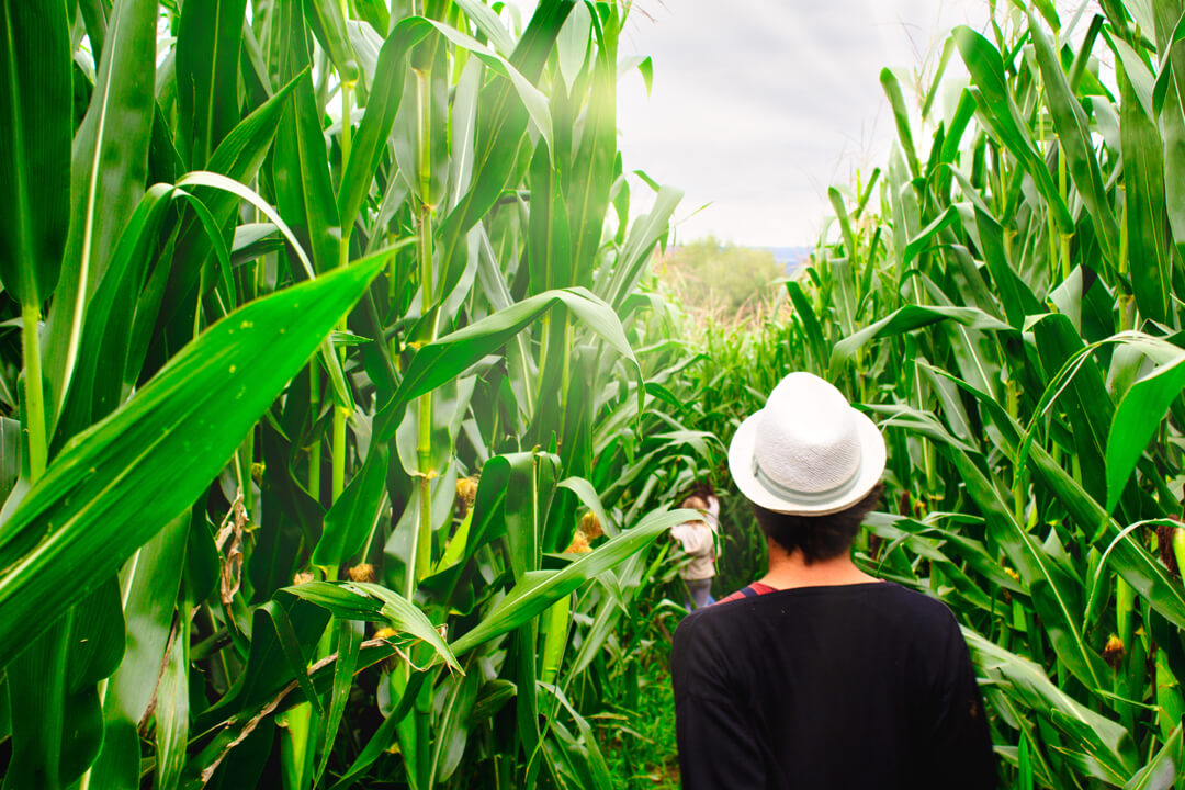 Corn maze at Hügle Manor in Ravensburg on Lake Constance