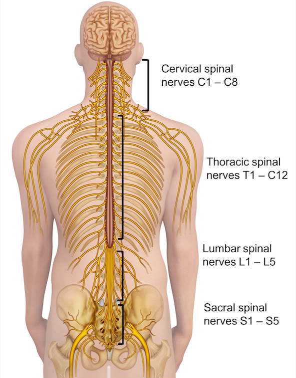 spine Vertebrae And Nerves Diagram spinal anatomy saratoga spine
