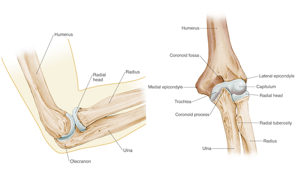 Evaluation of Overuse Elbow Injuries - - American Family ... |Elbow Bone Anatomy
