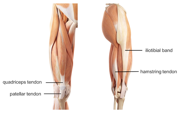Tendons And Ligaments Around The Knee