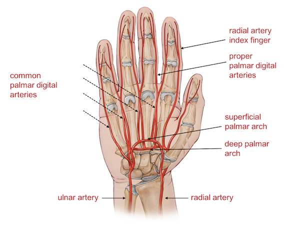 arteries of the wrist and hands