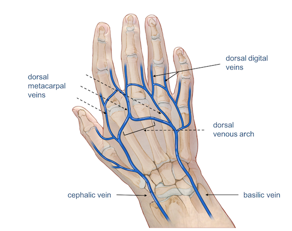 veins of the wrist and hand