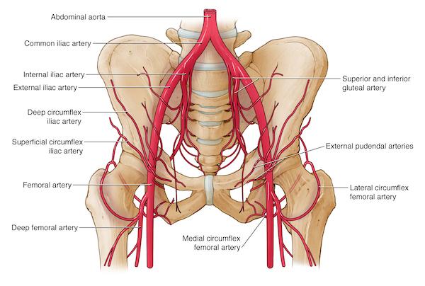 blood vessels of the pelvis