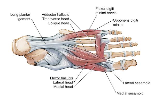 Foot Tendon Diagram.Ankle Foot