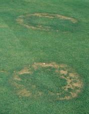 fairy ring lawn disease