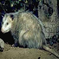 RI Humane Opossum Removal