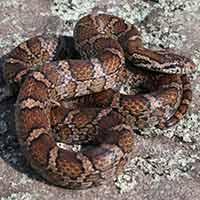 RI Snake Elimination