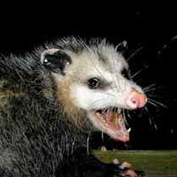 RI Opossum Trapping and Control