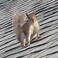 Squirrels Exterminator in RI