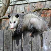 Rhode Island Opossum Trapping and Control