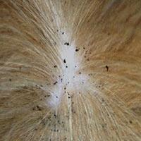 Rhode Island Flea Free Elimination