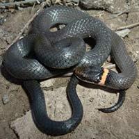 Rhode Island Snake Elimination
