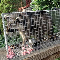 Raccoon Control and Humane Trapping