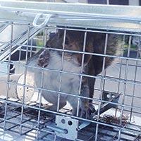 RI Squirrel Control and Humane Trapping