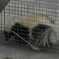 Skunk Family Trapped in RI