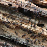 Rhode Island Ant Elimination