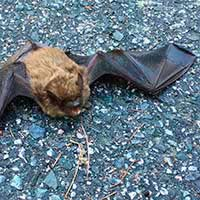 RI Bat Elimination