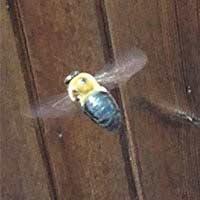 Carpenter Bee Elimination in Rhode Island