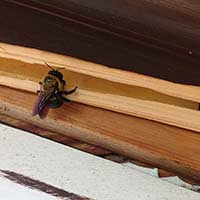 Carpenter Bee Control in Rhode Island