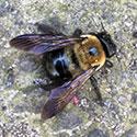 RI Carpenter Bee Control