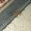 RI Centipede Control