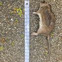 RI Rat Control
