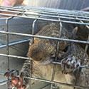RI Squirrel Control
