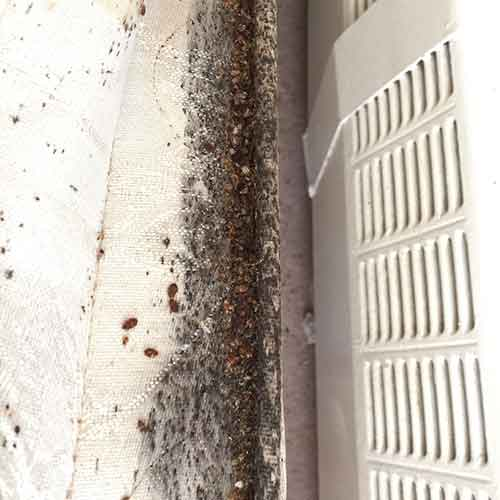 Major bed bug infestation on a boxspring