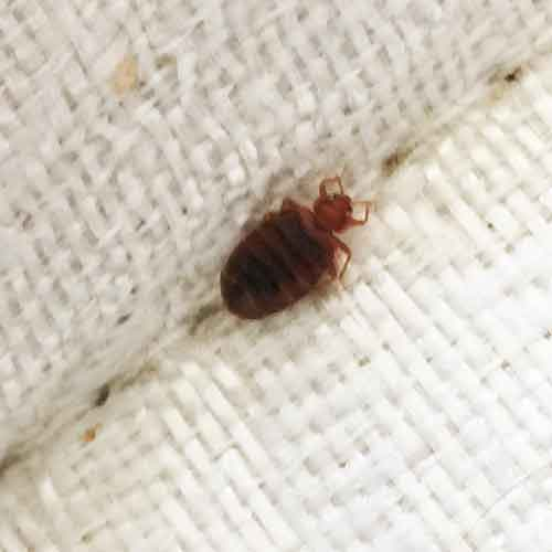 A large bed bug