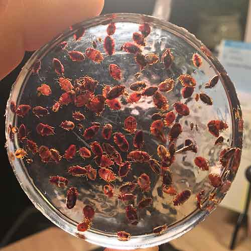 Bed bugs set in resin