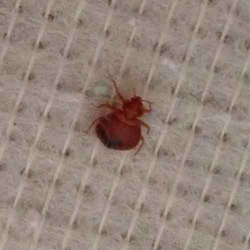 An adult bed bug