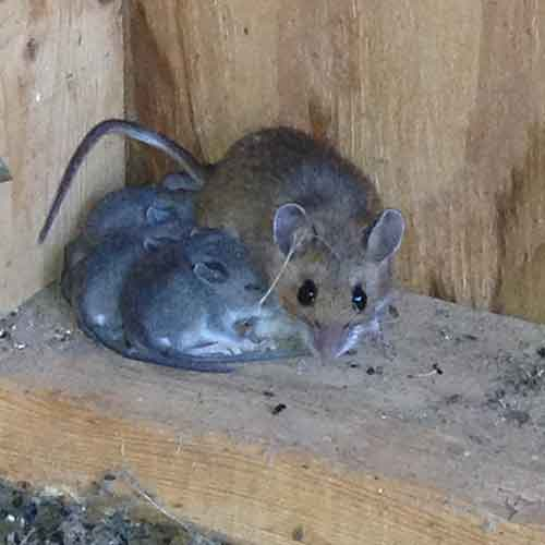 Adult Mouse Images