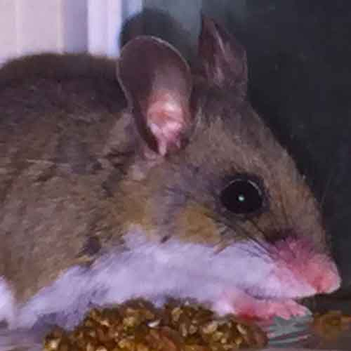 An adult mouse