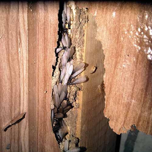 Termite Swarm Images