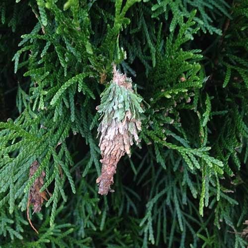 Bag Worm Image