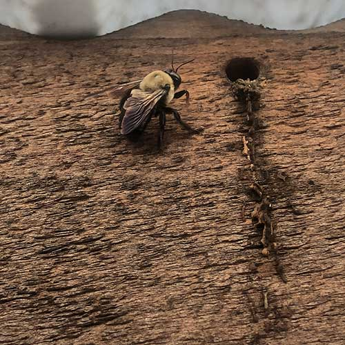 Carpenter Bee Image