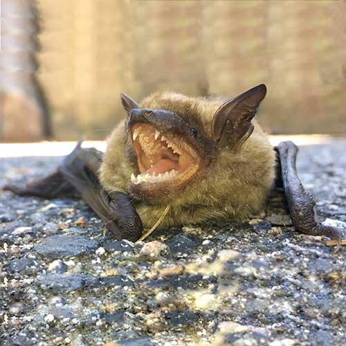 Brown Bat Image