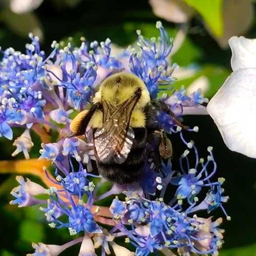 Bumble Bee Image