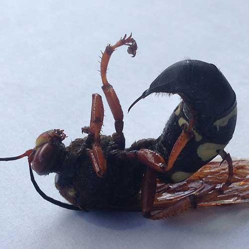 Cicada Killer Stinger Image