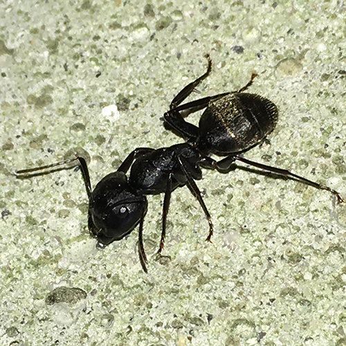 Carpenter Ant Adult image