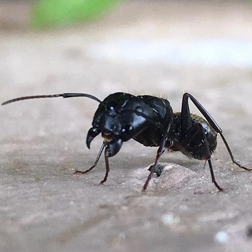 Close carpenter ant image
