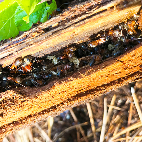 Red Carpenter Ant nest