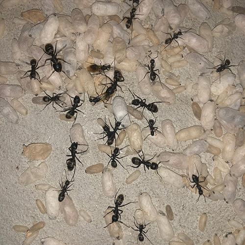 Carpenter Ant eggs